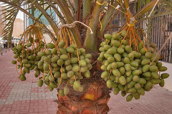 Созревают плоды финиковой пальмы