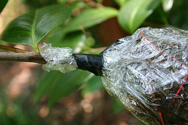 Только после образования корней отводку отсоединяют от растения