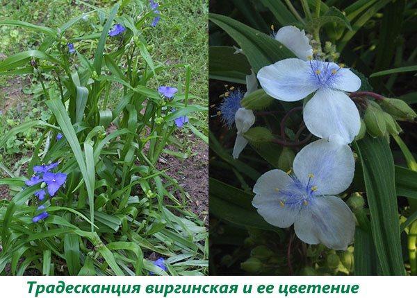 Традесканция виргинская и ее цветение