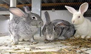 У кроликов слабый иммунитет к различным болезням