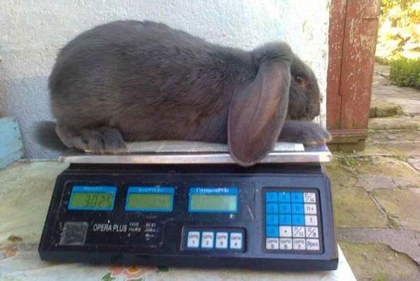 Вес кролика породы Французский баран в 2 месяца