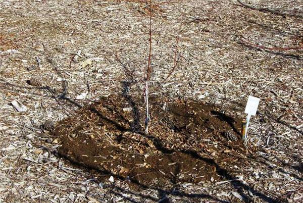 Весенняя подкормка молодых деревьев