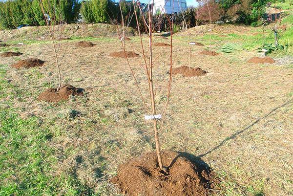 При посадке плодовых деревьев важно сохранять расстояние