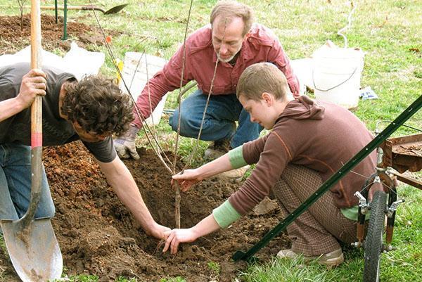 Сроки посадки плодовых деревьев
