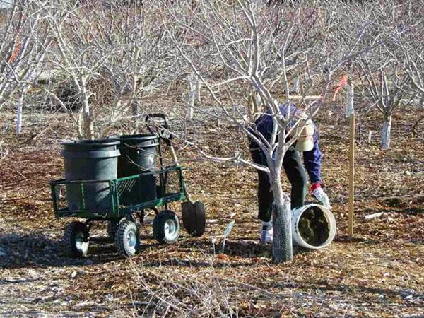 Внесение удобрений весной под плодоносящие деревья