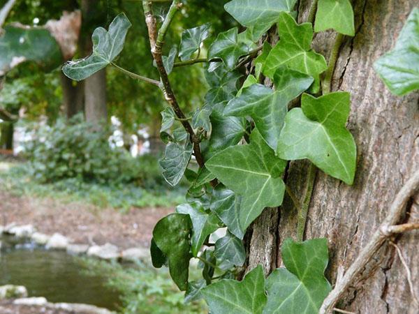 Взбирается на дерево плющ садовый