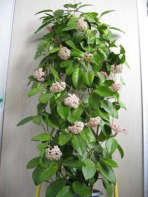 Взрослое растение хойи