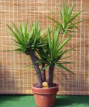 Юкка комнатная уход в домашних условиях размножение растения как пересадить пошагово
