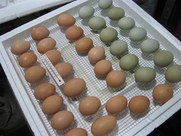 Закладка яиц для инкубации