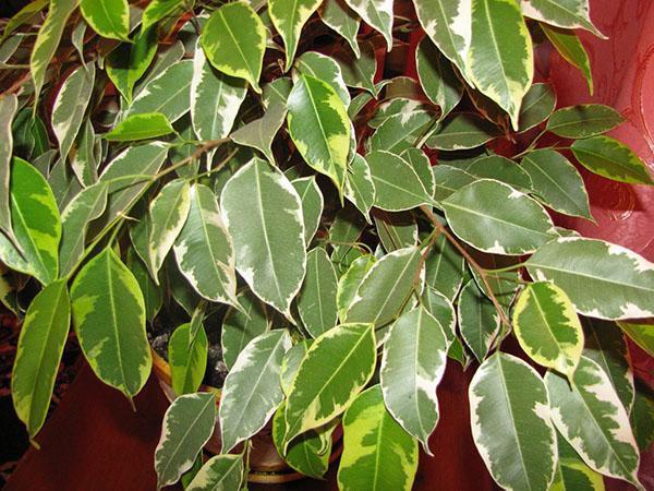 Здоровая листва Бенджамина