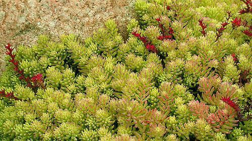 цветущая лужайка из почвопокровных растений