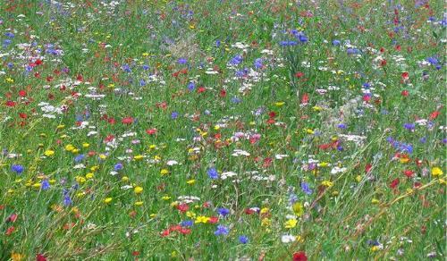 мавританский газон с полевыми цветами
