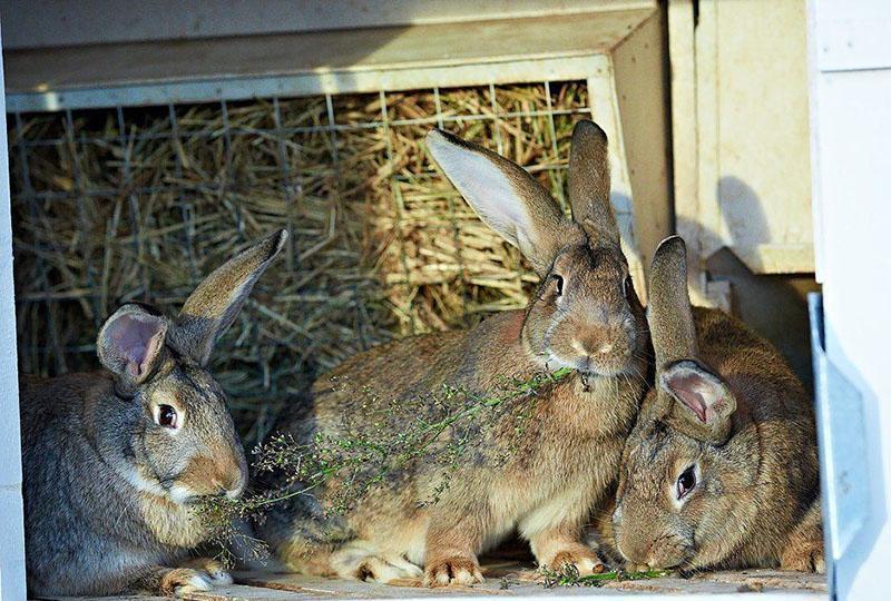 чем кормить кроликов для полноценного питания