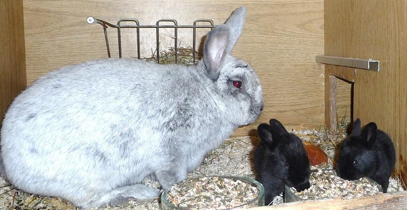 чем кормить кроликов и крольчат