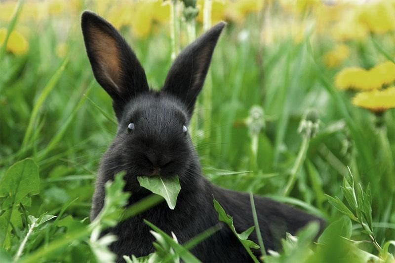 дикорастущие травы для кроликов