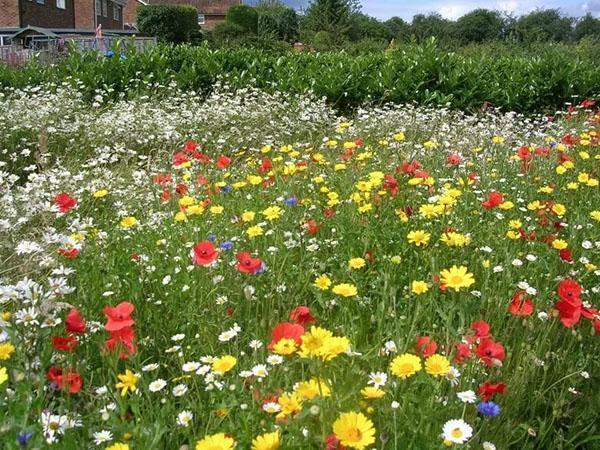цветут газонные цветы