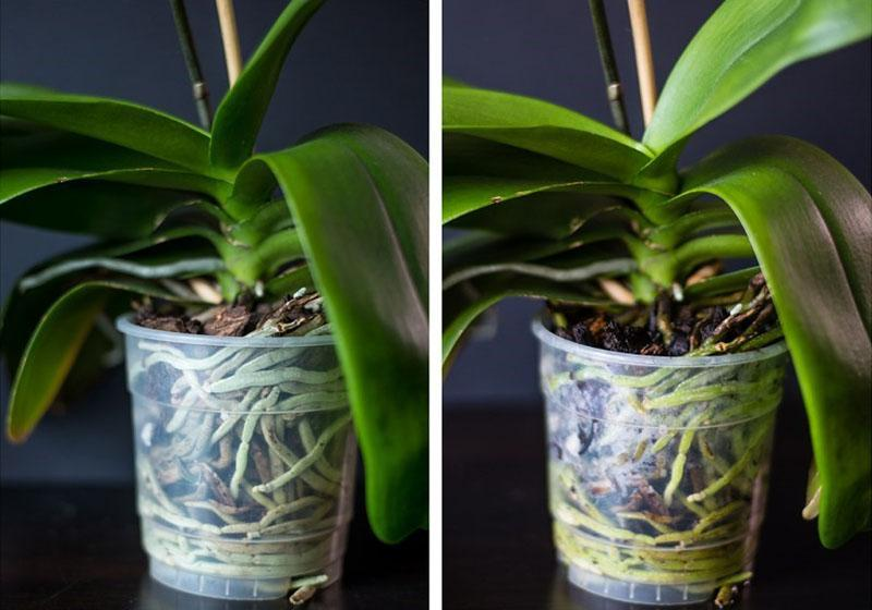 орхидея до и после полива