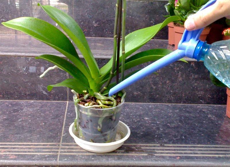 как поливать орхидеи из лейки