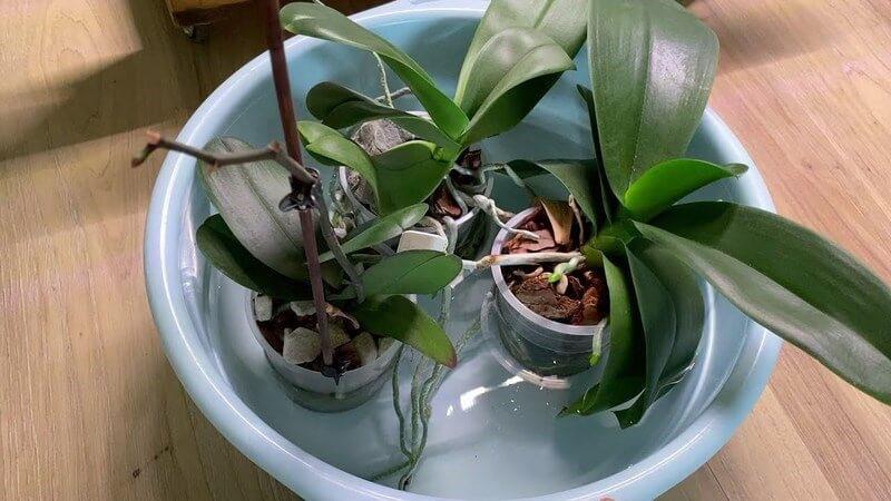 как поливать орхидеи способом погружения