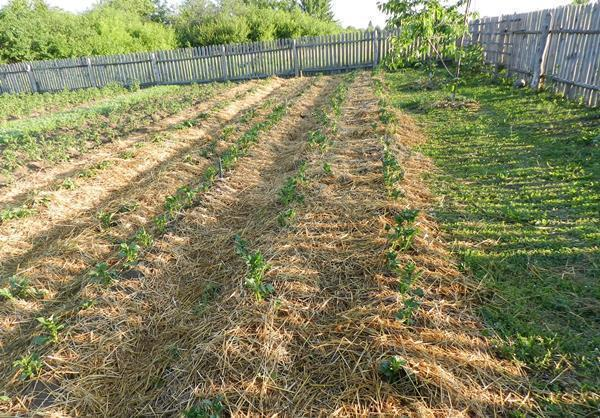 Посадка картофеля по траве