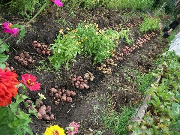 Экологические посадки картофеля