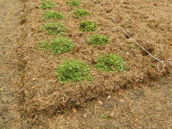 Укрывание картофеля срезанной травой