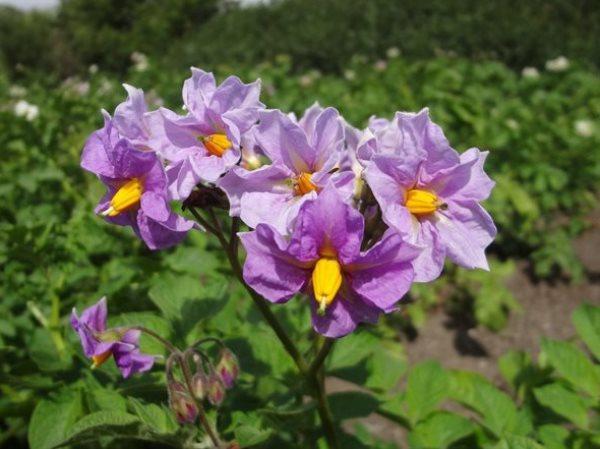 Цветущий куст картофеля