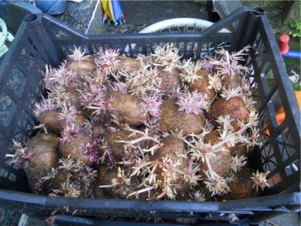 Проращивание клубней в пластиковых ящиках