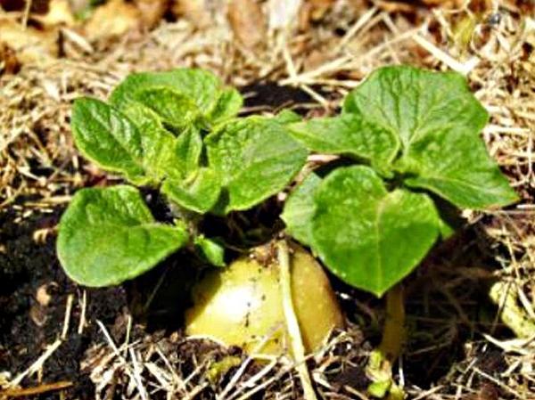 Первые всходы картофеля