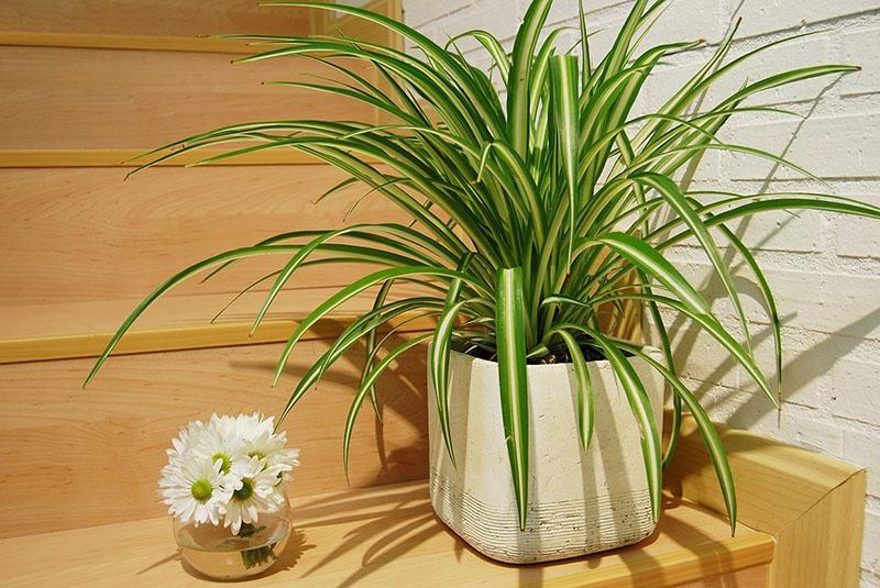 растение хорошо очищает воздух