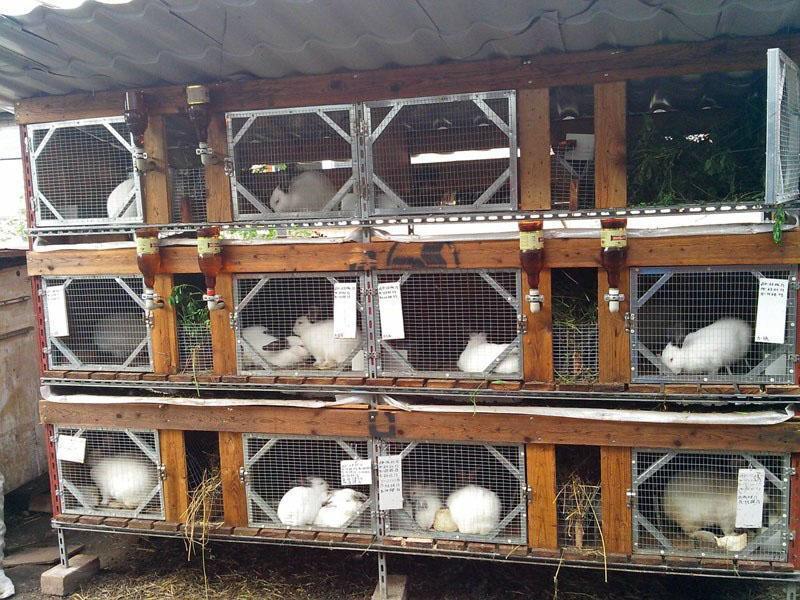 опасная кролиководство в домашних условиях клетки фото выразила