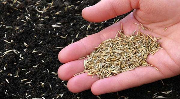 посев газона вручную