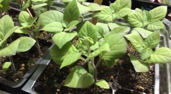 Выращивание рассады санберри
