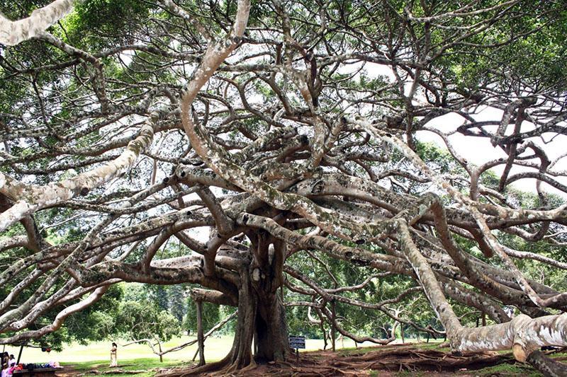 фикус Бенджамина в Шри-Ланке