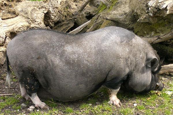 Азиатские вислобрюхие свиньи