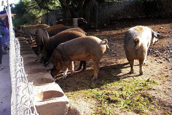 Бизнес по выращиванию свиней