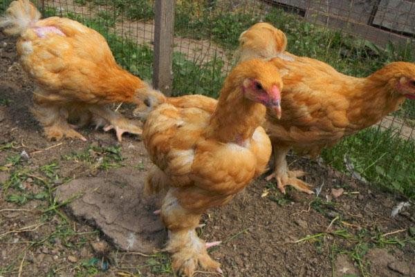 Цыплята получают полноценное питание