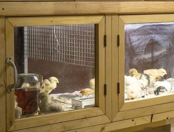 Цыплята в самодельном брудере