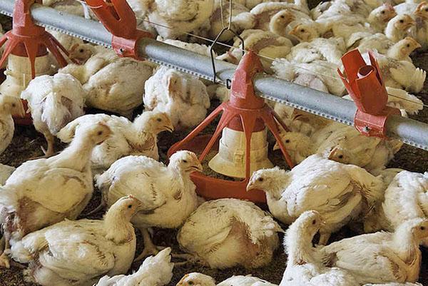 Цыплятам пропаивают ампролиум