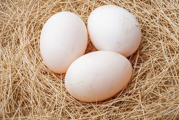 Для инкубатора яйца необходимо собирать с гнезда
