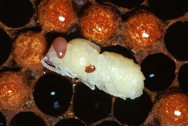 Для лечения пчел используют акарицидные и антибактериаными препараты
