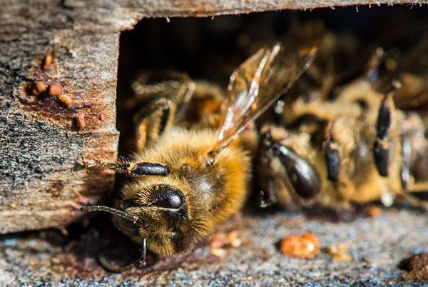 Для повышения иммунитета пчел применяют Лозеваль