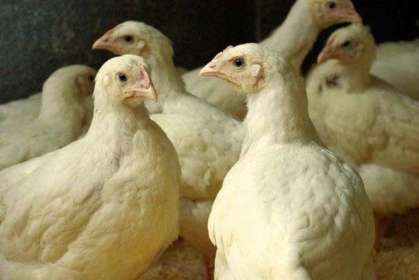 Для успешного развития цыплят бройлеров нужен витаминизированный корм