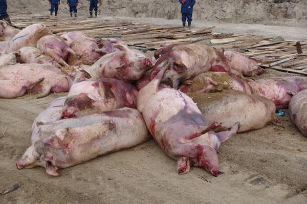 Гибель свиней, пораженных африканской чумой
