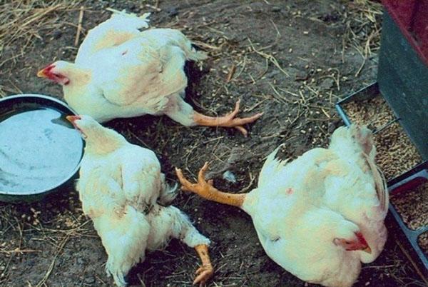К гибели птицы может привести недостаток питательных веществ, витаминов и минералов