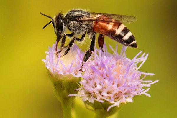 Карликовая азиатская пчела или Apis floreа dwarf