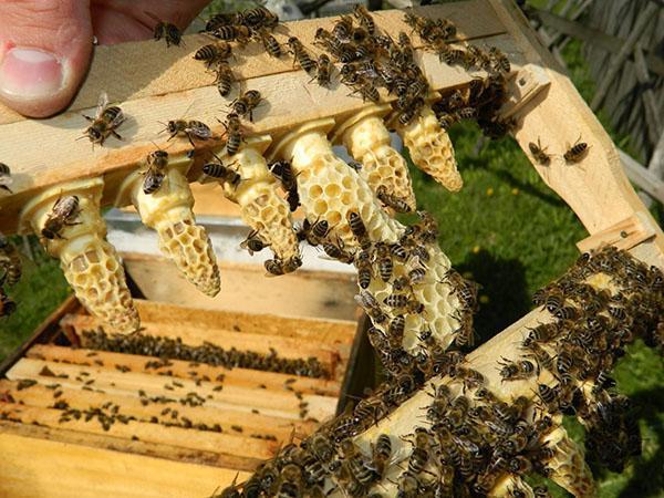 Карпатская пчела (Apis mellifera carpatica)