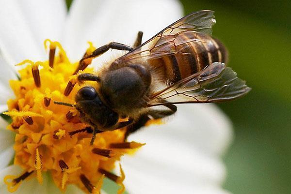 Китайская восковая пчела или Apis cerana.