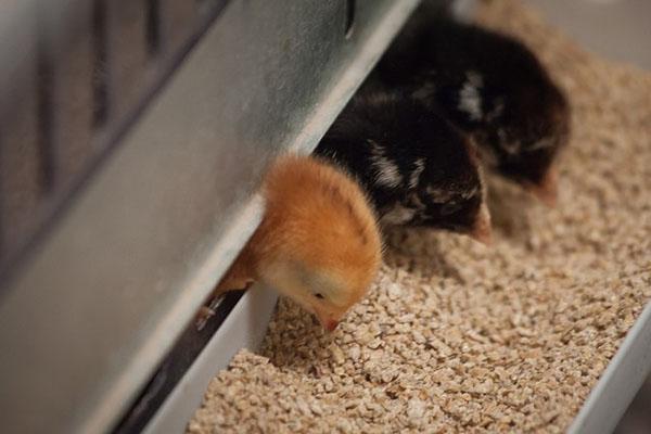 Кормление цыплят комбикормом Солнышко
