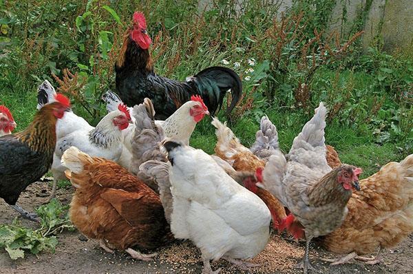 Яичные породы кур: знакомимся с хорошими несушками